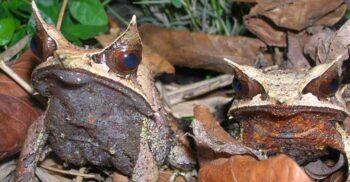 """Broasca-frunză de Malaezia, prădătorul """"invizibil"""" care se confundă cu vegetația"""