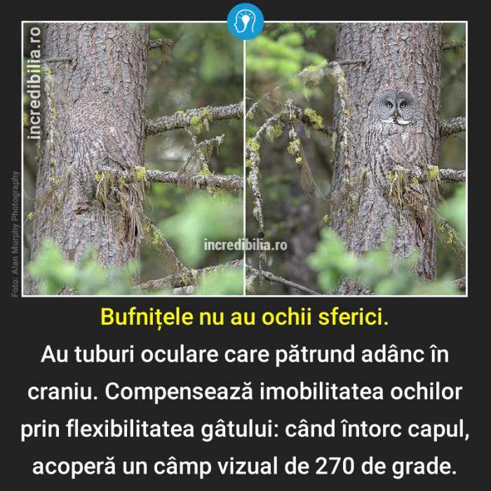 1141. bufnite ochi_138_red_compressed