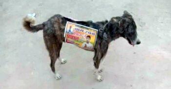 Candidații din India lipesc afișe electorale pe câinii vagabonzi