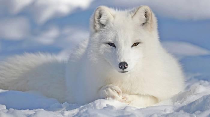 Curiozitati despre Islanda - Vulpea polara