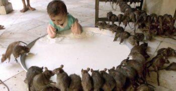 Karni Mata, templul hindus în care colcăie circa 20.000 de șobolani