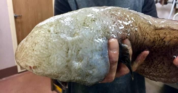 Typhlonus nasus, peștele fără față, redescoperit în Australia după un secol featured_compressed