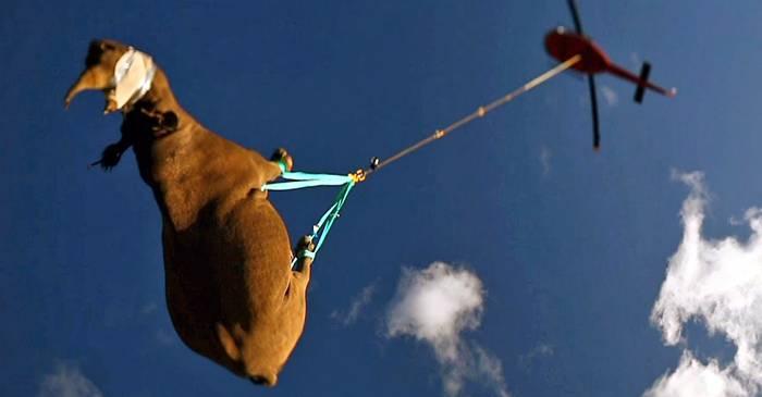 De ce rinocerii sunt transportați cu capul în jos pe cale aeriană Curiozități despre rinoceri featured_compressed