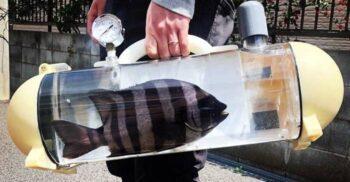 Cu peștele prin oraș: Geanta Katsugyo, acvariul portabil inventat în Japonia