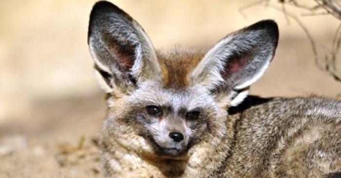 Vulpea cu urechi de liliac mănâncă termite și gândaci de bălegar featured_compressed