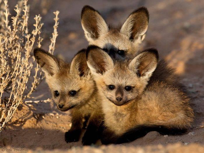 Vulpi cu urechi de liliac