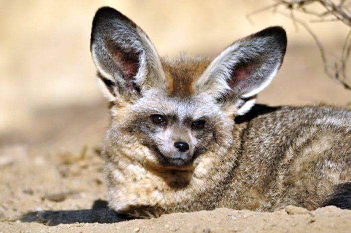 Vulpea cu urechi de liliac