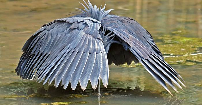 """Egreta neagră se face """"umbrelă"""" ca să prindă pești featured_compressed"""