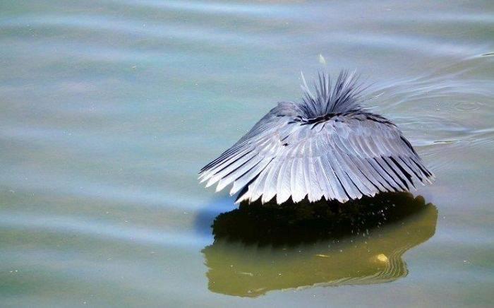 """Egreta neagră se face """"umbrelă"""" ca să prindă pești"""