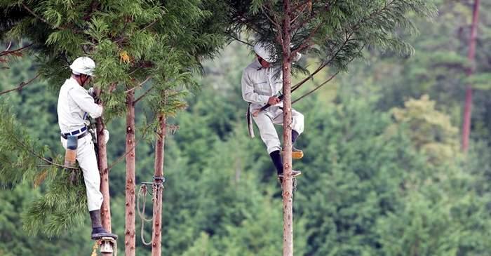 Daisugi, tehnica prin care japonezii produc lemn fără să defrișeze pădurile