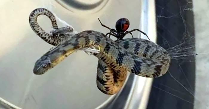 Natura (aproape) incredibilă Păianjenii care vânează șerpi