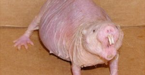 cele mai ciudate animale - cartita golasa