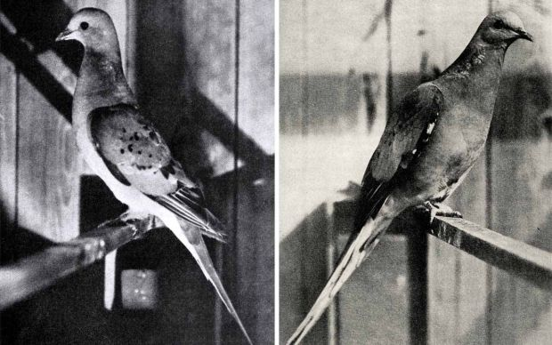 Animale disparute - Porumbelul pasager