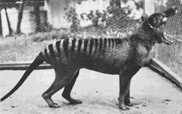 Animale disparute - tigrul tasmanian