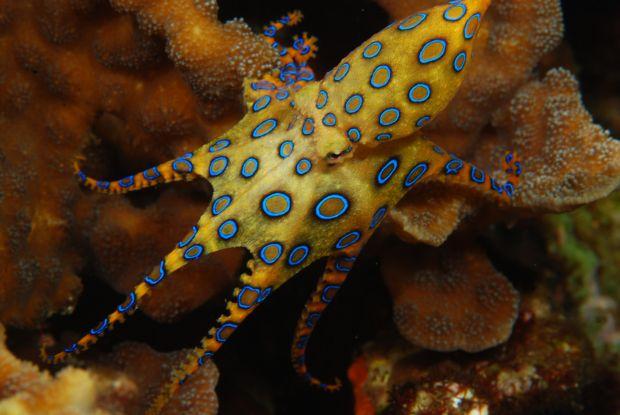 caracatita-cu-inele-albastre