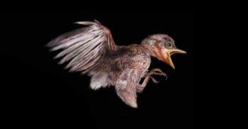 Capsula timpului – O pasăre preistorică, prinsă în chihlimbar acum 100 de milioane de ani