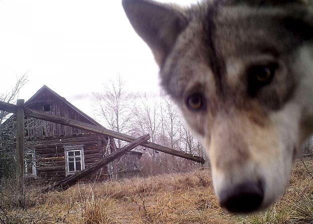 Cernobil - Lup