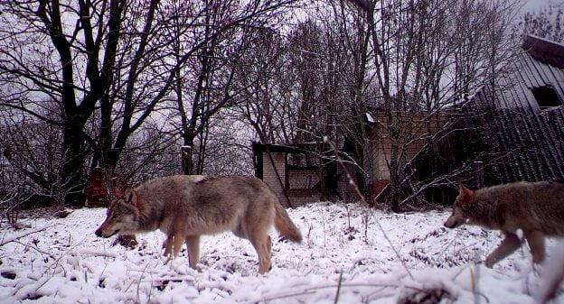 Cernobil - Radiatii
