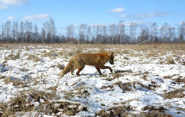 Cernobil - Vulpe