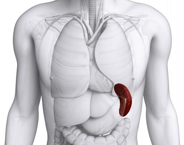 Corpul uman - Splina