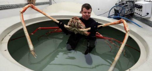 Creaturi ciudate - crabul paianjen