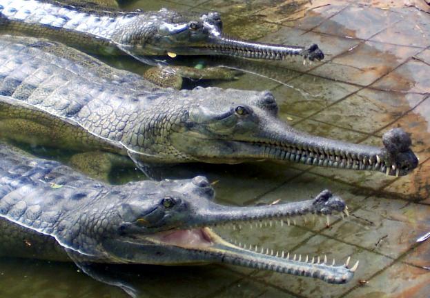 Creaturi ciudate - gharial