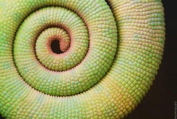 Fractali în natură - Coada cameleon
