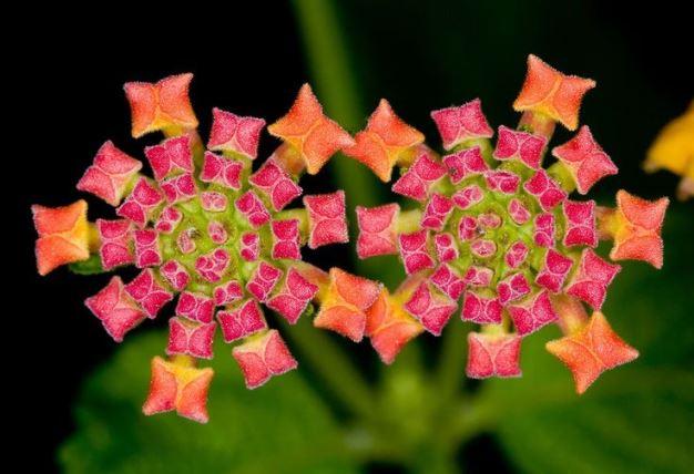 Fractali în natură - Floare