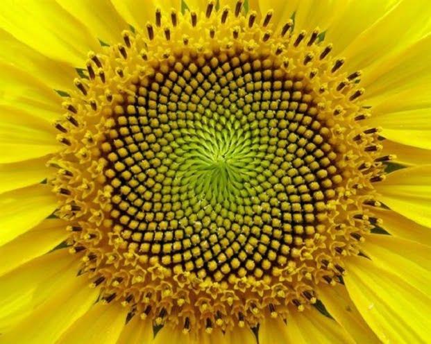 Fractali în natură - Floarea soarelui