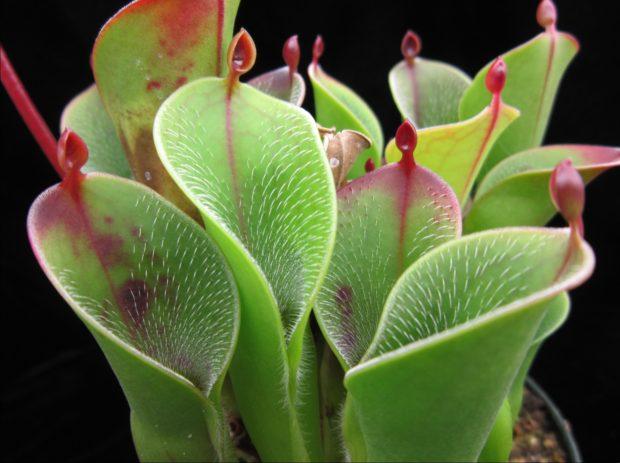 Plante carnivore - Heliamphora