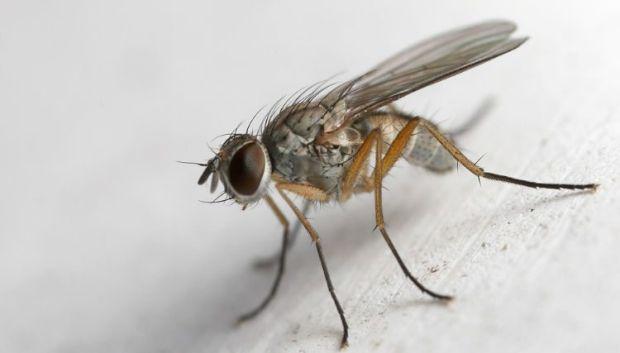 Insecta minuscula
