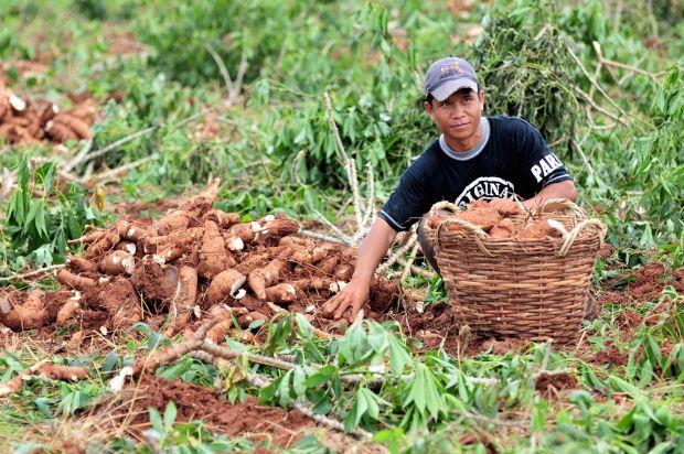 mâncăruri care ucid- Cassava