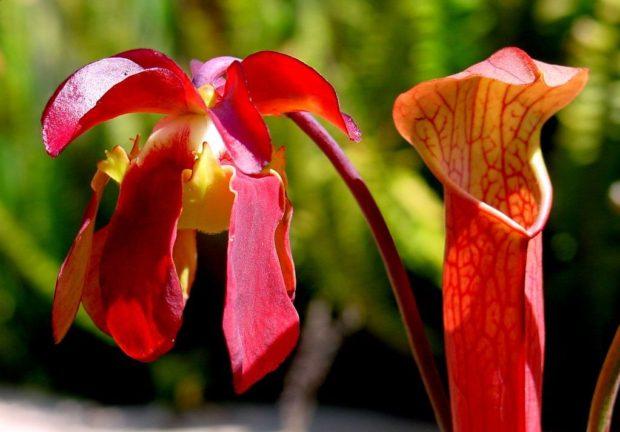 Plante carnivore - Sarracenia