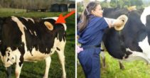 Stiinta o ia razna Fermierii elvetieni au facut gauri in vaci