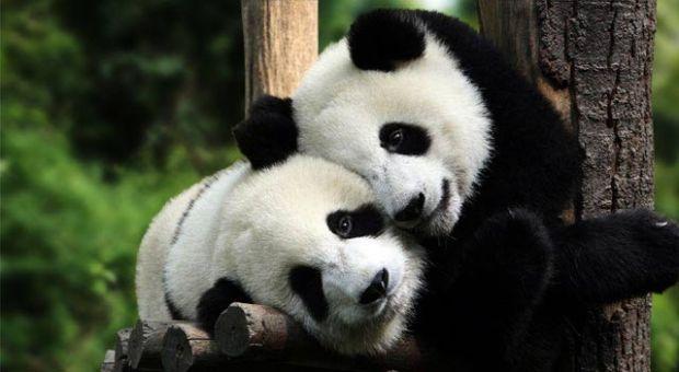 Ursi panda