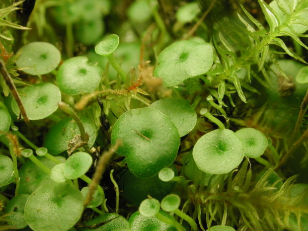 Plante carnivore - Utricularia