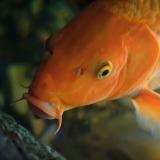 Cât a trăit cel mai longeviv pește