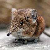 Ce super-putere au în comun șoarecii și păsările colibri