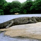 Cât rezistă un crocodil fără mâncare