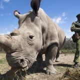 De ce au nevoie rinocerii albi de pază armată