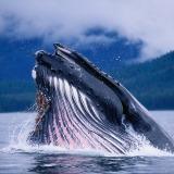 Cât cântărește limba unei balene albastre